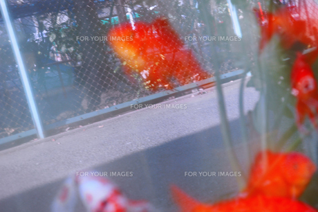 外金魚の写真素材 [FYI00100612]