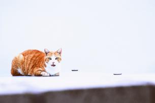 静止猫の素材 [FYI00100616]