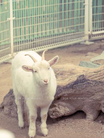 ヤギの写真素材 [FYI00100717]