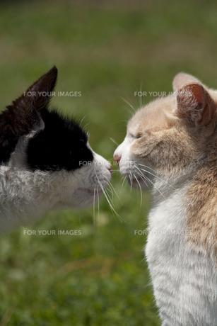 猫/挨拶の素材 [FYI00101061]