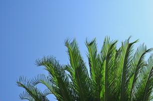 ソテツの葉の写真素材 [FYI00101137]