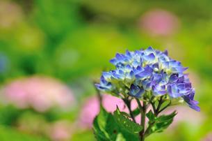 紫陽花の写真素材 [FYI00101149]