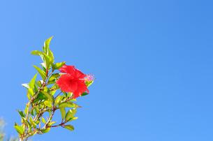 青空とハイビスカスの写真素材 [FYI00101150]