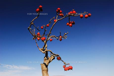姫リンゴの写真素材 [FYI00101159]