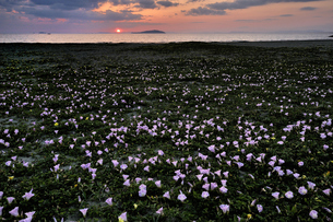 ハマヒルガオの咲く海岸の写真素材 [FYI00101221]