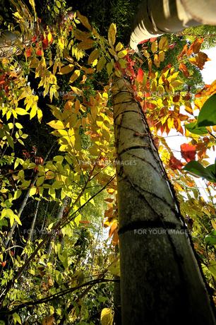 竹藪で見つけた秋彩の素材 [FYI00101222]