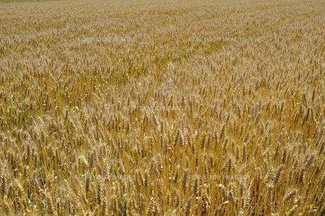 麦畑の写真素材 [FYI00101223]