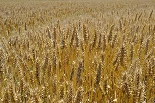 麦の穂の写真素材 [FYI00101238]