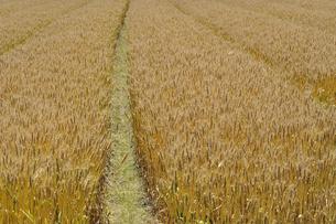 麦畑の写真素材 [FYI00101251]