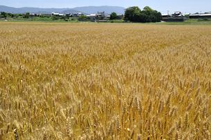 色づいた麦畑の写真素材 [FYI00101266]