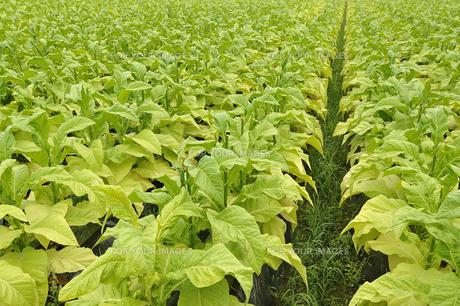 タバコ栽培の写真素材 [FYI00101290]