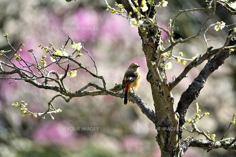 梅の枝に小鳥の素材 [FYI00101330]