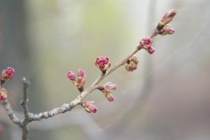 桜のつぼみの写真素材 [FYI00101355]