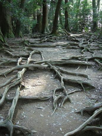 木の根道の写真素材 [FYI00101361]