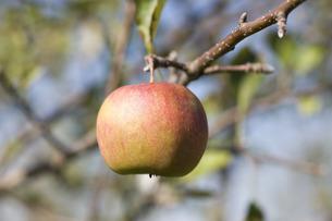りんごの写真素材 [FYI00101418]