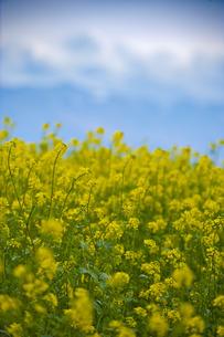 菜の花の写真素材 [FYI00101450]