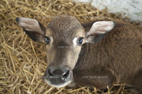 牛の写真素材 [FYI00101451]