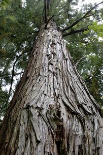 杉の木の写真素材 [FYI00101471]