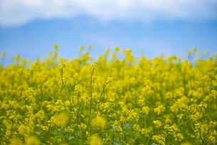 菜の花の写真素材 [FYI00101472]