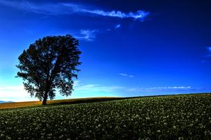 芋畑の写真素材 [FYI00101476]