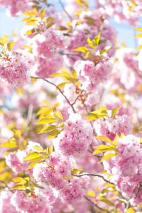 桜の写真素材 [FYI00101799]