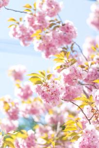 桜の写真素材 [FYI00101814]