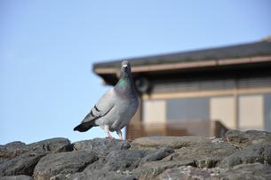 鳩の写真素材 [FYI00101861]