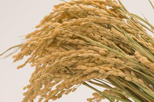 稲の写真素材 [FYI00101916]