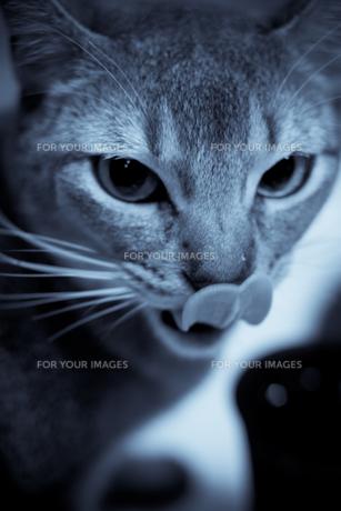 舌なめずりをする猫の写真素材 [FYI00102249]