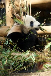 ジャイアントパンダの写真素材 [FYI00103090]