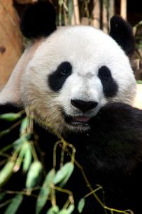 パンダの写真素材 [FYI00103093]