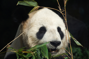 パンダの写真素材 [FYI00103101]