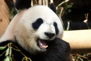パンダの写真素材 [FYI00103124]