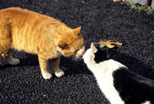なかよし猫の写真素材 [FYI00103144]