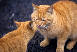 ボス猫の写真素材 [FYI00103158]