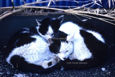 猫の昼寝の素材 [FYI00103159]