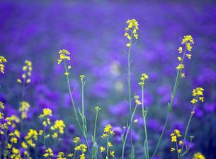 ラベンダーに浮かぶ菜の花の素材 [FYI00103204]