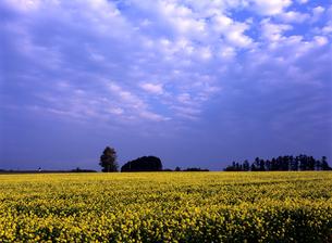 菜の花畑と空の素材 [FYI00103242]