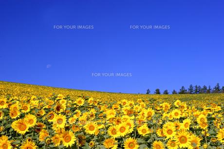 ヒマワリの丘の写真素材 [FYI00103272]