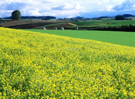 美瑛の丘と菜の花の素材 [FYI00103278]