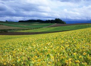 北海道の秋の豆畑の写真素材 [FYI00103291]