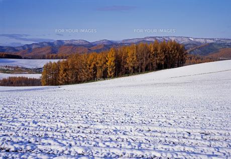 雪原とカラマツの丘の素材 [FYI00103300]