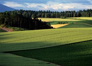 初夏の麦畑の素材 [FYI00103305]