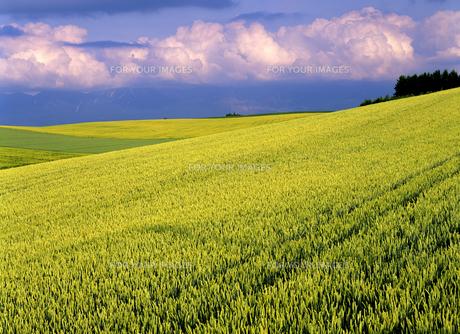 麦畑と雲の素材 [FYI00103313]