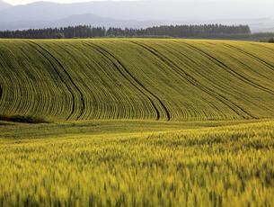 黄金の麦畑の写真素材 [FYI00103322]