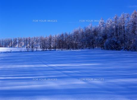 青い雪原と松林の素材 [FYI00103336]