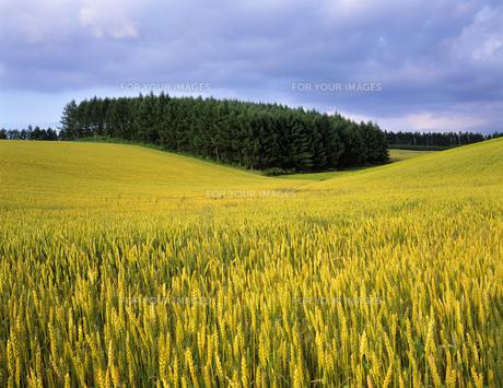 麦畑と木立の素材 [FYI00103340]