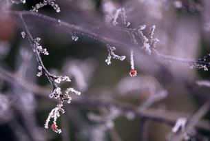 氷結した赤い実の素材 [FYI00103381]