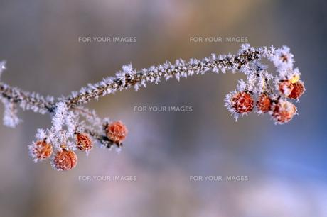 小さな果実の氷結の素材 [FYI00103391]