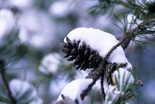 マツカサの積雪の素材 [FYI00103392]